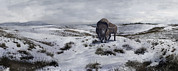 Snow-covered Landscape Digital Art - A Bison Latifrons In A Winter Landscape by Roman Garcia Mora