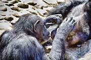 Chimpanzee Photo Posters - A Bit Like Us V4 Poster by Douglas Barnard