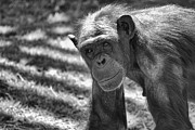 Chimpanzee Photo Posters - A Bit Like Us V5 Poster by Douglas Barnard