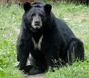 Jody Benolken - A Black Bear Named Vince