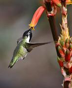 Saija  Lehtonen - A Black-chinned Hummingbird