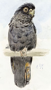 English Watercolor Paintings - A Black Cockatoo by Henry Stacey Marks
