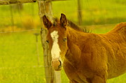 Domesticated Animals Posters - A Blue Eyed Colt Poster by Jeff  Swan