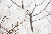 Ptarmigan Prints - A Boisterous Ptarmigan Print by Tim Grams