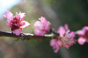 Tracey Harrington-Simpson - A Bough Of Blurred Peach Blossom