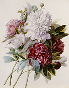 Red Leaf Paintings - A Bouquet of Red Pink and White Peonies by Pierre Joseph Redoute
