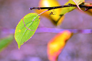 Spider Rock Art Posters - A branch with leaves Poster by Tommy Hammarsten