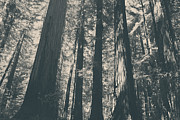 Redwoods Prints - A Breath of Fresh Air Print by Laurie Search
