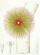 Exotic Drawings - A Bromelia Found in the Andes by French School