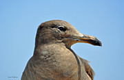 Susan Wiedmann Metal Prints - A Brown Gull in Profile Metal Print by Susan Wiedmann