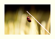 Bug Originals - A bug on a wheat straw by Tommy Hammarsten