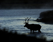 Madison Framed Prints - A Bull Elk crosses the Madison in the Early Morning  Framed Print by Gary Langley