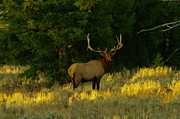 Bull Elk Prints - A Bull Elk In Rut Print by Jeff  Swan