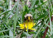 Bumble Bees Posters - A Bumble With His Face In A Dandelion Poster by Jeff  Swan