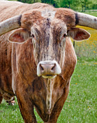 Longhorn Photos - A Bunch of Bull by David and Carol Kelly
