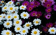 White Frame House Prints - A Bunch Of Daisies Ireland Print by Marcus Dagan
