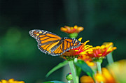 Raymond Salani III - A Butterfly III