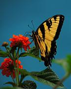 A Butterfly Print by Raymond Salani III