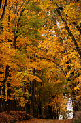 Linda Knorr Shafer - A Canapy of Golden Leaves
