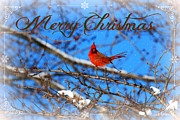 Living Waters Photography - A Cardinal Christmas