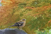 Iain S Byrne - A Chaffinch in Autumn