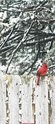 Christmas Card Ideas Prints - A Christmas Cardinal Print by PainterArtist FIN