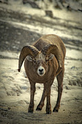 Bighorn Sheep Posters - A Close Encounter Poster by Evelina Kremsdorf