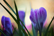HJBH Photography - A close-up of a crocus