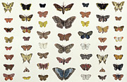 Insects Drawings Framed Prints - A collage of butterflies and moths Framed Print by French School