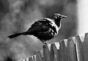 Christopher L Nelson - A Common Grackle
