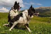 Clever Originals - A couple of border collies  by Gabor Pozsgai