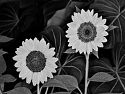 Phipps Conservatory Prints - A couple of sunflowers. Print by Digital Photographic Arts