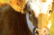 Colorfull Photos - A cow looking into the camera by Tommy Hammarsten