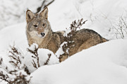 Brush Wolf Posters - A coyote in the snow Poster by Jeannette Katzir