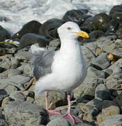 Neurotic Images Photography Prints - A Curious Seagull Print by Chalet Roome-Rigdon