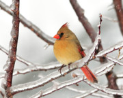Female Northern Cardinal Prints - A Day in the Life Print by Betty LaRue
