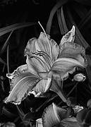 Yard Sale Prints - A Daylily Bloom In Original Black And White Print by ImagesAsArt Photos And Graphics
