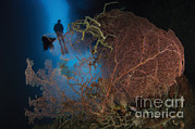 Fan Coral Posters - A Diver Descends In A Cavern Poster by Steve Jones
