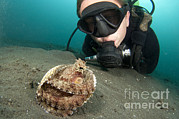 Wild One Framed Prints - A Diver Looks At A Coconut Octopus Framed Print by Steve Jones