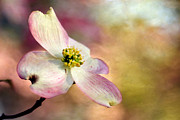 Cornus Framed Prints - A Dogwood Bloom Framed Print by Darren Fisher