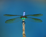 A Dragonfly IIi Print by Raymond Salani III