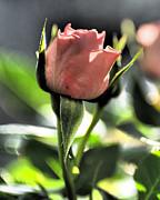Linda  Smith - A Dramatic Morning Rose