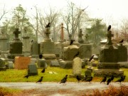Ravens In Graveyard Prints - A Fall Gathering Print by Gothicolors And Crows