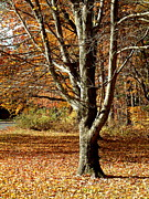 Millbury Massachusetts Prints - A Fall Tree in New England Print by Mike McCool