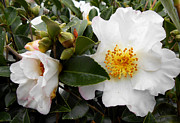 Eva Thomas - A Family of Camellia...