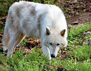Eva Thomas - A Female Gray Wolf