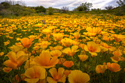 Golden Flowers Metal Prints - A Field of Mexican Poppies Metal Print by Saija  Lehtonen