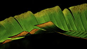Lehua Pekelo-Stearns - A floating Heliconia Leaf