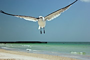 Flying Seagull Originals - A Florida Gull by Amazing Jules