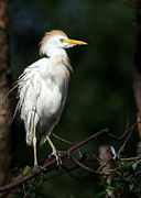 Jupiter Photo Posters - A Fluffed Cattle Egret Poster by Sabrina L Ryan